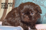 Miki/Cherry Chocolate Liver/Female