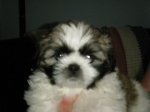 Lois 6 weeks 8/4 11   Tri-Color Brindle/White Royal Shih Tzu Markings
