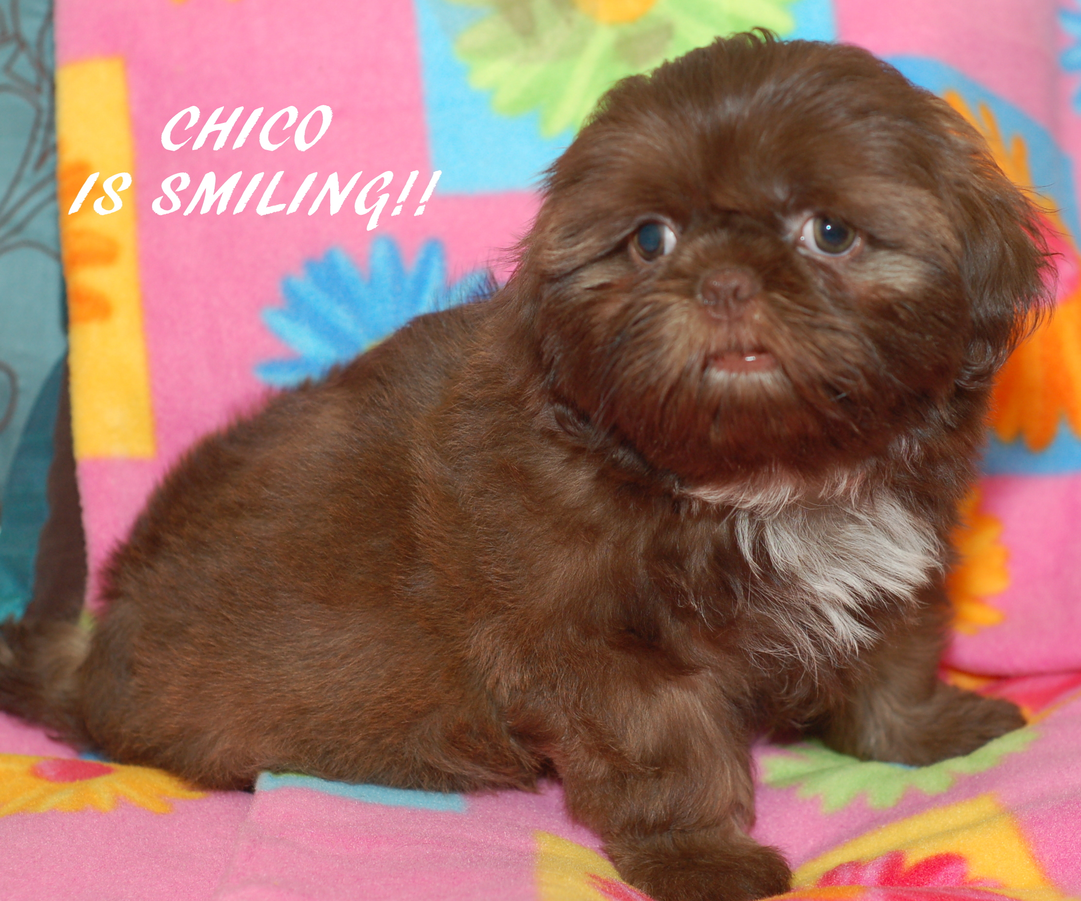 Shih Tzu Puppies For Sale Shih Tzu Breeder Akc