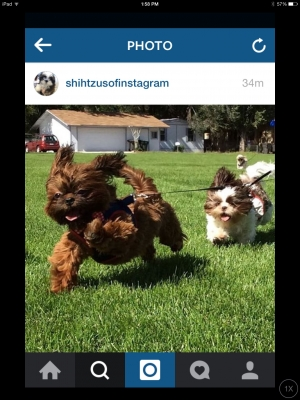 AUDREY AND WALLACE  WINNERS OF INSTAGRAM  SHIH TZU OF THE DAY!!  SKYE AND CHURRO LITTER  FEB 2014