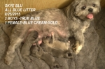 SkyBlu and Dreamers All Blue Litter  3 TRUE BLUE BOYS 1 CREAM BLUE GIRL   Aug 2015